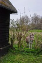 Donkey near the Tithe Barn, Landbeach